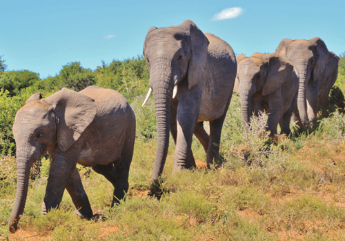 photo of elephants walking in a line